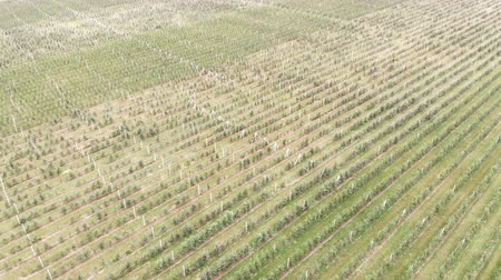 v řadě : Aerial view on top. Big Apple plantation. The cultivation of apples. Panorama Apple orchard shooting with a drone. Background or texture.