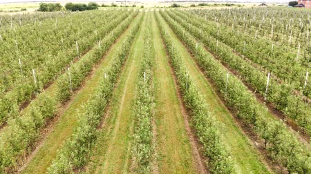 hail : Flying drone between the rows of Apple orchard. Young Apple orchard