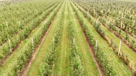 spraying : Flying drone between the rows of Apple orchard. Young Apple orchard