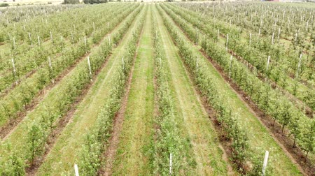 granizo : Flying drone between the rows of Apple orchard. Young Apple orchard
