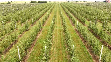 Aerial view of the Apple plantation. The cultivation of apples. Panorama Apple orchard shooting with a drone. Camera moves in front