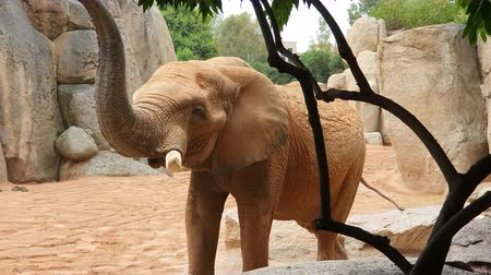 marfim : African elephant walks zoo between large stones and rocks.