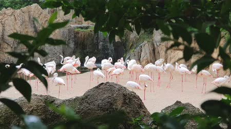 A large flock of pink flamingos by a waterfall in a wildlife Park. Стоковые видеозаписи
