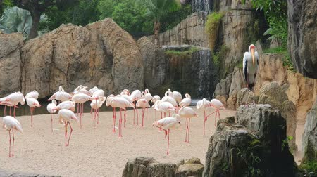 экзотичность : A large flock of pink flamingos by a waterfall in a wildlife Park. Стоковые видеозаписи