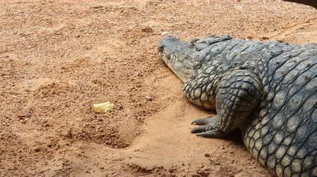 Large crocodile close-up sleeping on a light orange ground with small stones. Next is a yellow leaf Stock mozgókép