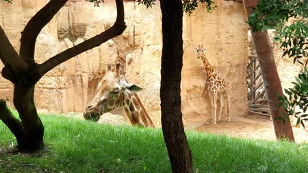 tongue out : Two giraffes. A giraffe eating green grass from a hill.