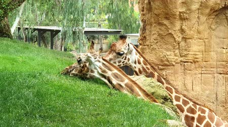 Two giraffes. A giraffe eating green grass from a hill.