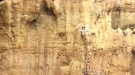 alto : A giraffe licking a wall of stone on a Sunny day Archivo de Video
