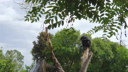 relance : Black monkey that sleeps on a dry trunk in a wildlife Park against the backdrop of a large waterfall.