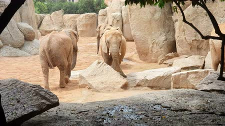 tusk : African elephant walks zoo between large stones and rocks.