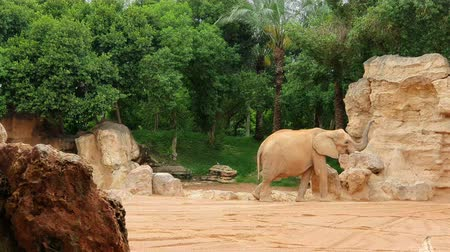 African elephant walks zoo between large stones and rocks.