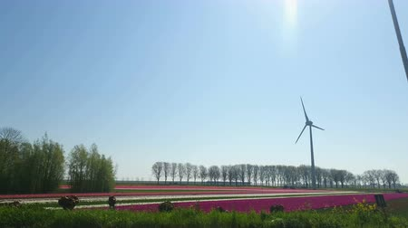 Observation from the car window on the mole of tulips and modern windmill in Holland