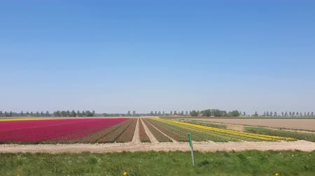 szélmalom : View from the car window at high speed on the fields of red tulips in Holland