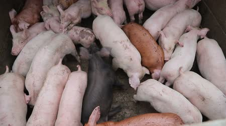 enclosure : Group of pigs in the enclosure of different breeds and colors. Pigs on the farm.