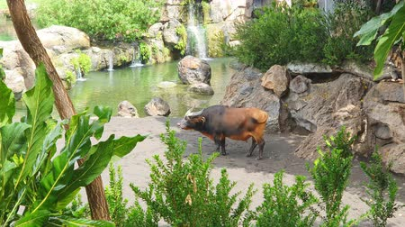 западный : Buffalo black brown in a wildlife Park, walking by the lake Стоковые видеозаписи