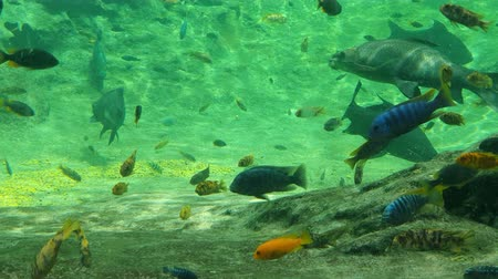 кит : Large tropical fish swim in the aquarium. Beautiful tropical fishes
