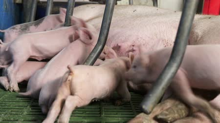 göğüs : Little pigs just born, drink milk from the mother pig. Sows feed small pigs
