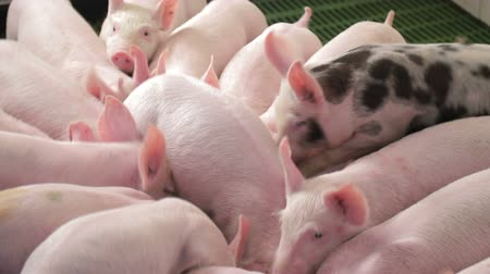 breed : Pigs eat food by pushing each other on a pig farm. One pig with black spots.. Pigs eating from a trough.