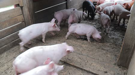 hekje : Herd of pigs are driven into the aviary. Pigs that are in a cage