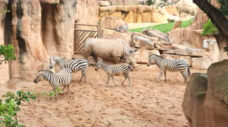 accroché : rhinoceros and zebras walk on sandy soil in a wildlife Park Vidéos Libres De Droits