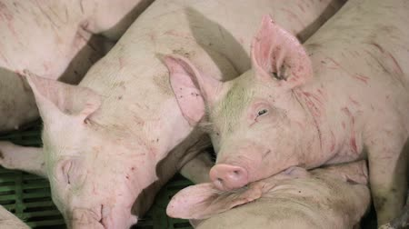 dairy barn : Pigs are resting, lying in the barn. One pig with open eyes, looks. Meat production Stock Footage