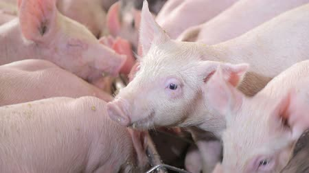queue : Close up Pigs eat food by pushing each other on a pig farm. Pigs eating from a trough.