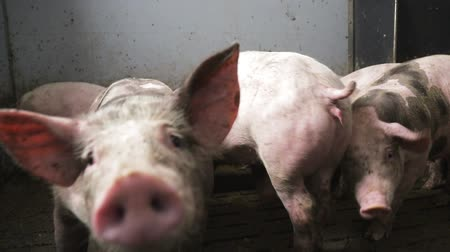 looking towards : Close-up of a large pig in a swamp, are in a barn which is poorly lit. Poor conditions for pigs on the farm Stock Footage