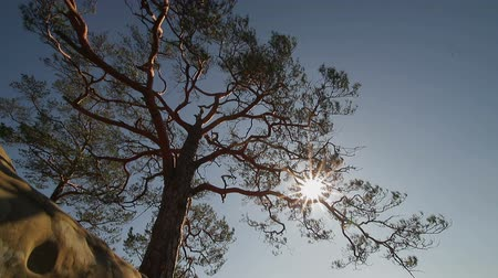 ormanda yaşayan : One pine tree that grows on stone slopes. The suns rays Shine through the branches of a pine.