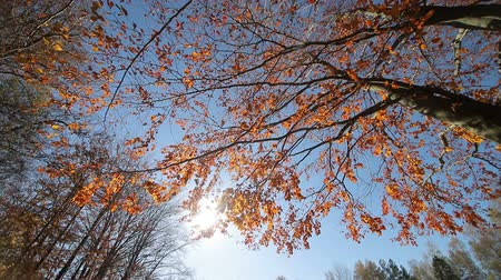 outubro : Sun shines through the red leaves. The camera movement and look at the autumn tree from the bottom to the top. The tree is covered with red leaves
