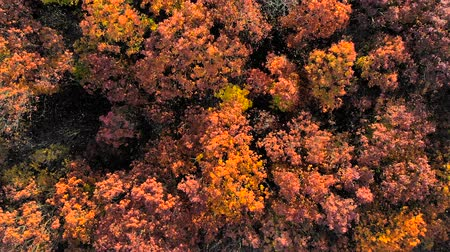 boomtoppen : Looking down on amazingly beautiful autumn colors,forests,trees, aerial drone flyover view.