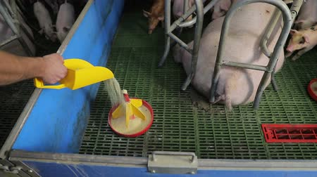 свиноматка : Small pigs close up eating food from a plastic feeder. Pigs eating from a trough.
