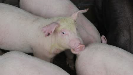 field kitchen : Pigs are resting, lying in the barn. One pig with open eyes, looks. Meat production Stock Footage