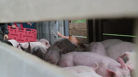 poitrine de porc : Pigs are resting, lying in the barn. One pig with open eyes, looks. Meat production Vidéos Libres De Droits