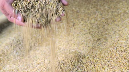 sac pain : Wheat in the hands of a farmer. Against the background of wheat which is in stock. Wheat falls from the hands. Vidéos Libres De Droits
