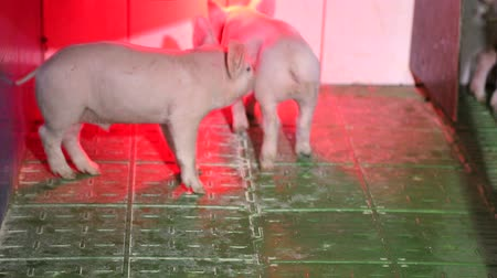 свиноматка : Little pigs under infrared light, bask and play.