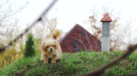 perro ladrando : A small dog, with curly hair, light brown, on the green grass, which barks