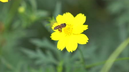 margarida : Footage - Flower and Bee