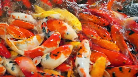 goldfish : Large group of koi crap fish in water is scrambling for food and making water splash, footage from top view. Stock Footage