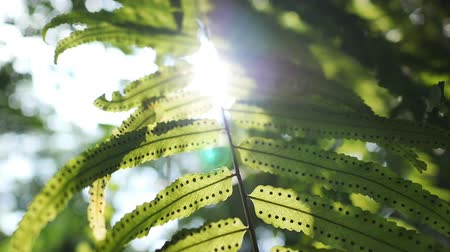 Tracking shot of sun glimmering through fern leaves with full of spores in slow motion. Nature and greenery concepts.
