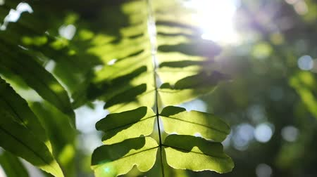 Tracking shot of sun glimmering through fresh fern green leaves in slow motion and bokeh background . Nature and environment concepts.
