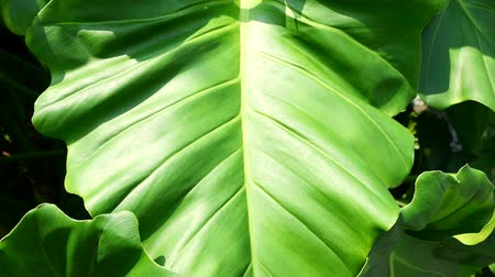 gigante : Tracking shot of large philodendron tropical green leaves in slow motion. Plants trees in the garden with natural daylight in Asia, Thailand. Nature and environmental concepts. Stock Footage