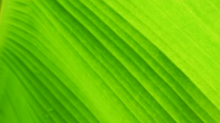 Close up banana leaf pattern, blur tropical green plants in slow motion. Defocused lush foliage natural background and abstract concepts.