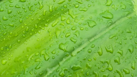 Close up tracking shot of large green leaf philodendron full of water drops after rainning. Slow motion of greenery nature plant in Asia, Thailand. Background and abstract concepts. Stock mozgókép
