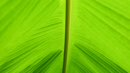 Close up along the stem of banana green leaf tropical plants in slow motion. Greenery natural background and abstract pattern concepts.