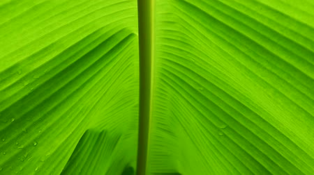 Defocused lush foliage, tracking along the stem of banana green leaf in slow motion. Abstract natural background and pattern concepts. Stock mozgókép