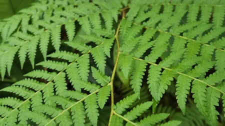 vernal : Tracking shot of tropical and rainforest green trees in garden, Thailand.  Fresh fern stem plants in slow motion. Natural background and ecosystem concepts.