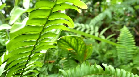 vernal : Selective focus of fresh fern trees in Asia, Thailand. Tropical and rainforest green plants in the garden. Nature and environmental concepts. Stock Footage