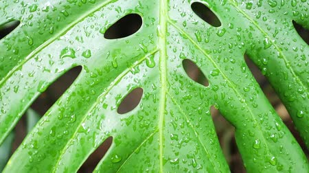 Water drops on monstera tropical exotic plants. Slow motion tracking shot of nature green leaves in Asia, Thailand. Greenery background and ecosystem concepts.