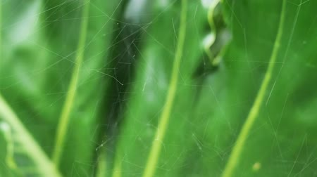 もつれた : Tracking shot of abstract background, defocused of spider web on green leaf. Nature in the tropical rainforest of Asia, Thailand. Concepts of patterns and environment.