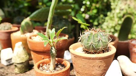 floriculture : Small decoration cactus and succulent plants in different pots. Gardening in natural summer daylight in Asia, Thailand. Nature and hobby concepts. Stock Footage